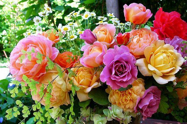 Роза чайна