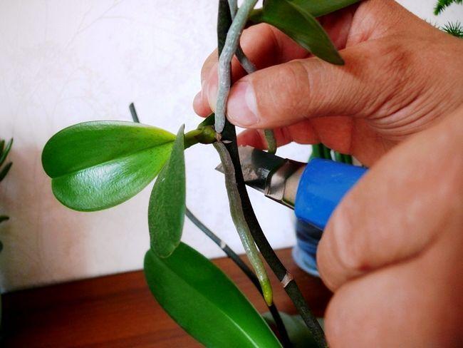 Вирощування фаленоспіса будинку