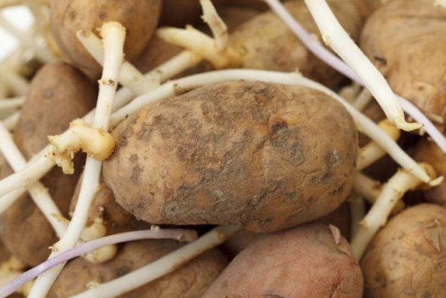 картопляні паростки