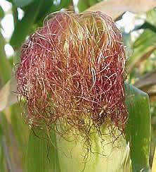 Користь і шкода кукурудзяних рилець