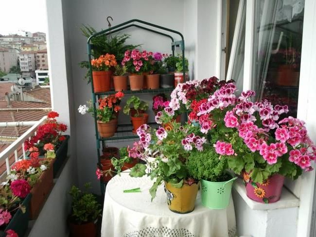 Красиві кімнатні квіти